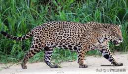 南美最小的貓科動物,因實力不濟,常常過得提心吊膽