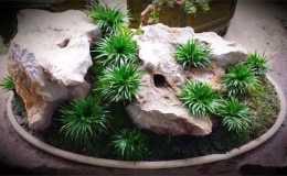 這花太倔了,噴點水就活,石頭上都能養開花