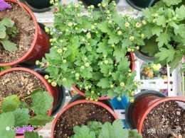 秋季菊花大家族——千頭菊,花如其名,只需這樣簡單養護花若繁星