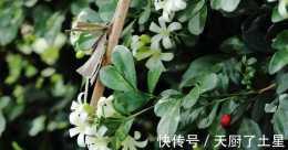 家裡養盆九里香,可以清新空氣,還能防蚊蟲!