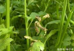 【農業生態】芹菜葉柄屬於什麼組織?灰黴病的症狀及危害有哪些呢?