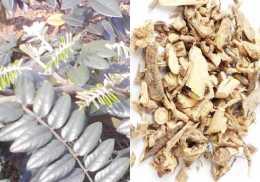 清熱藥——清熱解毒藥(山豆根、馬勃、青果、木蝴蝶)