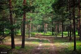 杉木高效種植管理技術,掌握杉木的生長習性,促進杉木快速生長