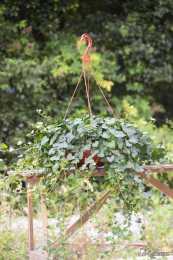 一年四季的綠色陪伴—常春藤,關於常春藤你不知道的一些事
