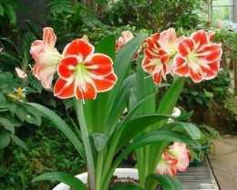 家裡養朱頂紅,做好這件事,四季油亮,開花鮮豔!