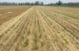 河南麥壟套種花生規範化種植技術
