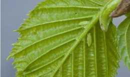 蚜蟲雖然小,但是危害大還難以消滅,花椒水卻能對付它
