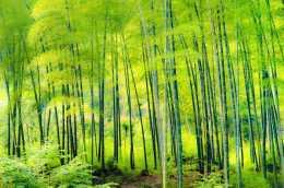 剛竹是什麼?為什麼剛竹能成為綠色生態的主流?你知道真相嗎?