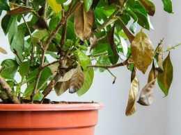 家裡的盆栽茶花、茉莉或月季葉子發白,嫩芽枯萎,就是根出問題了