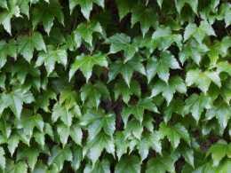 四季常青的常春藤,養在家裡比綠蘿養眼,快學學養護方法