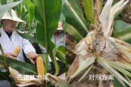 夏玉米病蟲害防治從種子處理開始 先正達綜合解決方案獲專家肯定