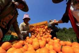記住這個柑橘葉面肥,膨果快個頭均勻,噴施一遍畝產8000斤不發愁