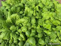 葉菜好種,但種好太難了,避免3個誤區,新手也能種出漂亮的葉菜