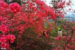 想映山紅開花美豔,初夏管理很關鍵,你做對了嗎?