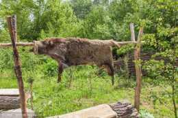 郊遊必備:郊遊必備的野豬皮,郊遊必備的野豬皮,郊遊必備的神器!