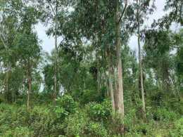 桉樹的栽培技術與田間管理‖病蟲害防治