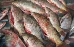 【養魚小知識】跑馬病一般發生在什麼階段?跑馬病的應對方法有哪些