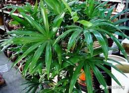 這些竹,北方也能種,富貴又平安!