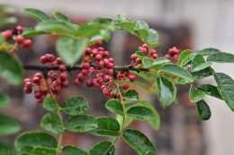 花椒高效增產栽培管理技術,及病蟲害防治措施,確保增加花椒產量