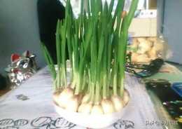 水培農作物有哪些?水養蒜頭長出蒜苗,能吃幾茬?