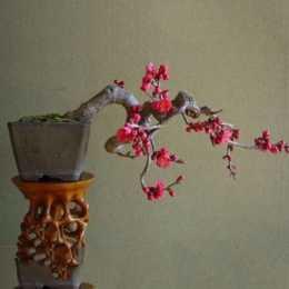 盛行的梅花盆景和羅漢松盆景
