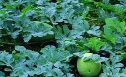 瓜果蔬菜得了細菌性葉斑病要如何防治,這裡有辦法!