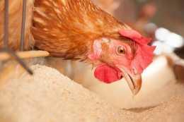 為什麼蛋雞營養過剩?