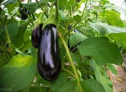 茄子葉黴病使葉早落,影響產量和果實品質,採取5項措施有效應對