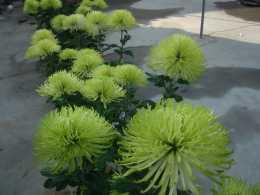 搞清楚菊花的四季養護技巧,事半功倍養出精品菊花