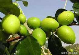 臺灣青棗到底怎麼種植?