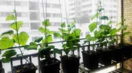 家庭設施水培番茄栽培技術