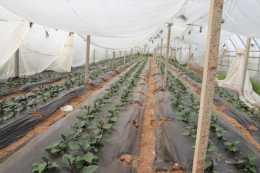 今天來告訴你,冬天蔬菜種植覆蓋白地膜和黑地膜到底哪個好?
