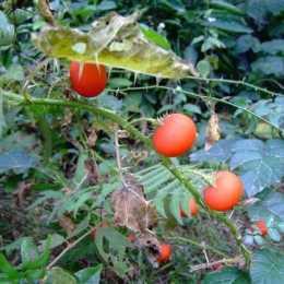 牛茄子,別名番鬼茄,喜生於路旁荒地、疏林或灌木叢中