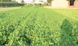 花生後期植株旺長,還能噴施控旺劑嗎?農戶快來看看吧