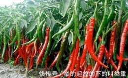 農民種植辣椒,三伏天怎麼噴醋,提高產量和品質