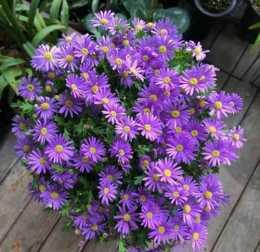 5款小菊花,開春種子撒土裡,發芽生根開一片,美得不像話!