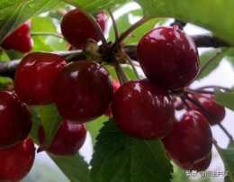 櫻桃價格暴跌,從300元一斤到30元一斤,口碑崩塌的原因是什麼?