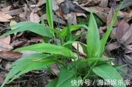 """農村常見""""竹草"""",比竹子矮,卻有那麼多作用,見到珍惜"""