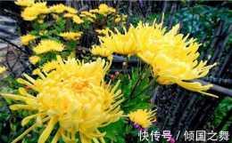 你知道在什麼朝代皇家最喜歡欣賞菊花?菊花對我們民眾有何受益?