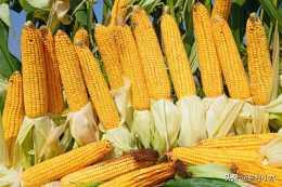 春玉米施肥有講究,2種肥料搭配使用,高產又省錢!