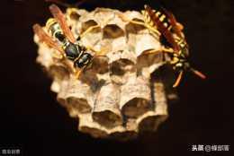 農村野外毒蜂種類眾多,哪些毒蜂對人和家畜有威脅?老蜂農這樣說