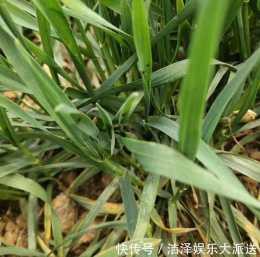 小麥種植戶請注意,部分割槽域麥田蚜蟲已出現,做好防治工作很重要