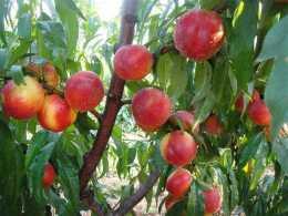 油桃樹種植,掌握好全年在關鍵期澆水,促進發芽、開花、坐果率