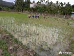 春耕來襲,你做好準備了嗎?水稻原種育種技術,拿走不謝
