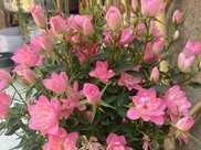 """此花號稱""""開花勞模"""",分枝多開花旺,一次能開30朵,是盆栽佳品"""