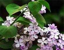 丁香花和白菜花為什麼是一類?這些花是怎麼種植的?有什麼功效嗎?